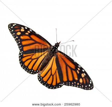 Dorsal view of Danaus plexippus, Monarch butterfly, isolated
