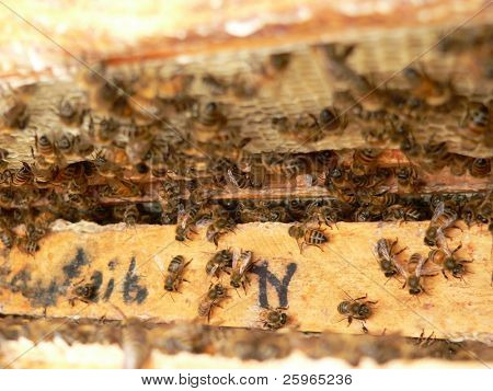 Propolis on honey cells frame