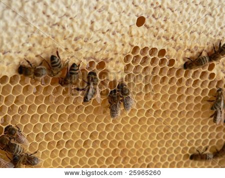 Bees babys in honey cells