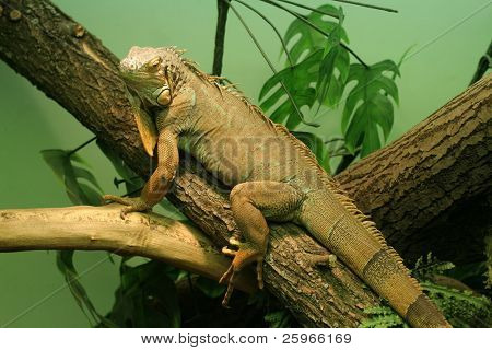 Chameleon sits on branch. Close up