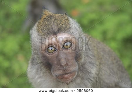 Surprised Monkey On Green Background