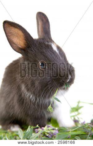 Eating Black Bunny, Isolated On White Background