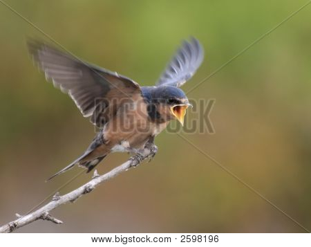 Barn Swallow Begging For Food