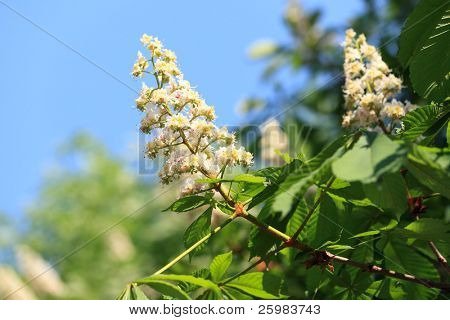 Flowering branches of chestnut (Aesculus hippocastanum) on the background of green leaves and sky
