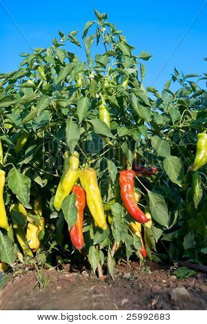 Very frash and hot red and yellow paprika in the garden against blue sky