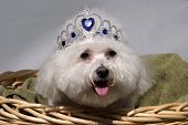 Fifi a Bichon Frise smiles while wearing her princess crown while in a wicker basket poster