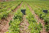 pic of sweetpea  - string bean fields - JPG