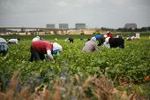 foto of eatables  - unidentifable workers pick green beans in a field - JPG