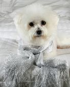 Fifi the Purebred Bichon Frise smiles as she models some of her favorite outfits to see what she wan poster