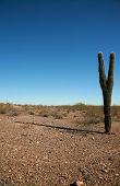Постер, плакат: Красивый величественный кактус Сагуаро процветает в сухой пустыне Аризона «Carnegiea гигантская»