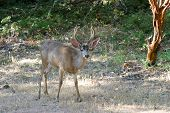stock photo of black tail deer  - a happy  - JPG