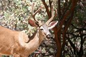image of black tail deer  - Closeup portrait of a wild male black - JPG