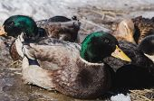 Colored Home Drakes And Ducks On Spring Ice poster