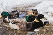 Domestic Drakes And Ducks On Spring Ice poster