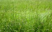 Close Up Image Of Fresh Spring Long Green Grass. Green Grass Photo Background Or Texture. Beautiful  poster