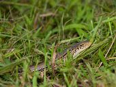 stock photo of harmless snakes  - Lined snake in grass - JPG