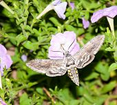 stock photo of hornworms  - Tomato Hornworm Moth feeding in flight - JPG