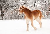 picture of gentle giant  - Belgian Draft horse in snow - JPG