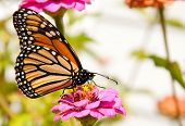 Colorful migrating Monarch butterfly feeding on a flower, refueling for its migration