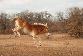 image of gentle giant  - Belgian Draft horse bucking while running in a fall pasture - JPG