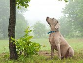 Weimaraner dog sitting under a tree, watching closely at something up in the tree on a foggy day
