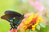 Beautiful iridescent Green Swallowtail butterfly feeding on an orange flower
