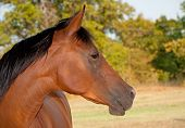 stock photo of arabian horses  - Profile of a beautiful red bay Arabian horse - JPG