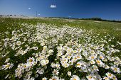 image of hayfield  - Hayfield with daisies - JPG