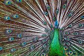 Portrait Of Wild Male Peacock With Fanned Colorful Train. Green Asiatic Peafowl Display Tail With Bl poster