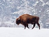 European bison (Bison bonasus) in natural habitat in winter poster