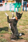 Funny Basenji Kongo Terrier Dog Playing Showing Trick Outdoor. Playful Pet Outdoors. Basenji Is A Br poster