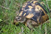 pic of testudo  - Land Turtle Testudo graeca in the grass - JPG
