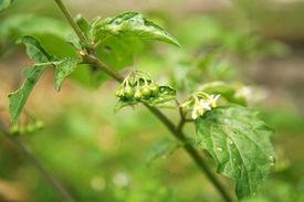 image of belladonna  - Belladona or Deadly Nightshade or Atropa belladonna - JPG