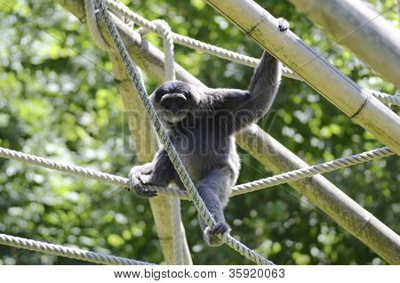 Monkey plays with ropes