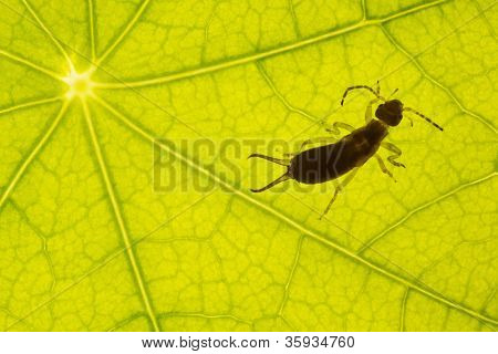 Green Leaf Texture With Earwig
