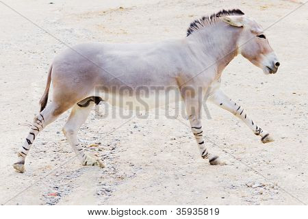 Somali Wild Ass