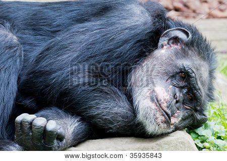 Lying Chimp