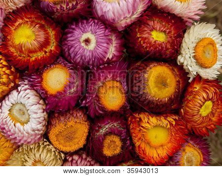 Straw Flower,helichrtsum Bracteatum