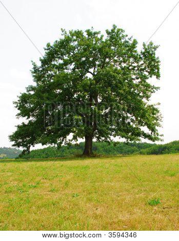 Sole Oak