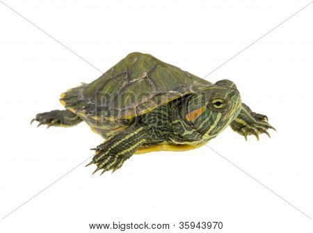 Small Water Turtle
