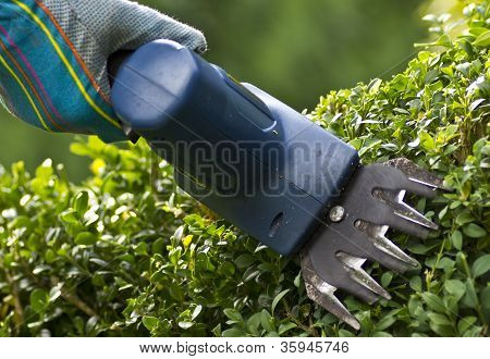 cutting box-tree hedge