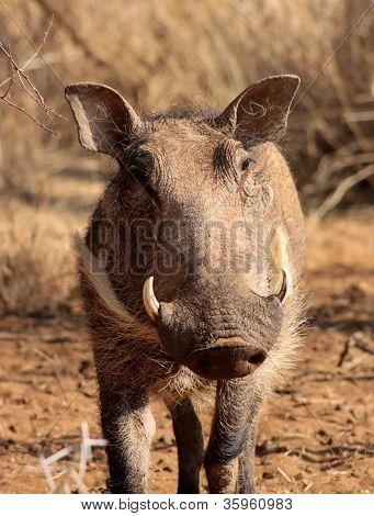 Warthog Male Close-up