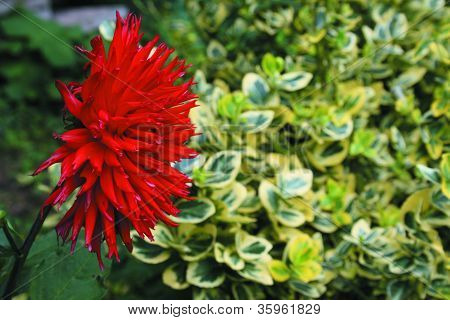 Marigold Flower - Red Flowers