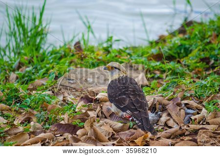 Yellow-headed carcara
