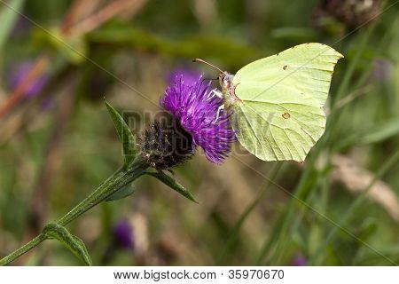 A Male Brimstone Butterfly