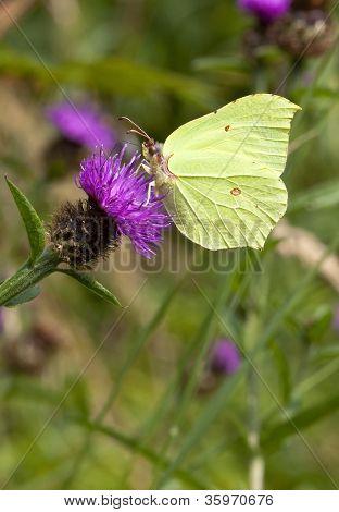 Brimstone Butterfly On Knapweed