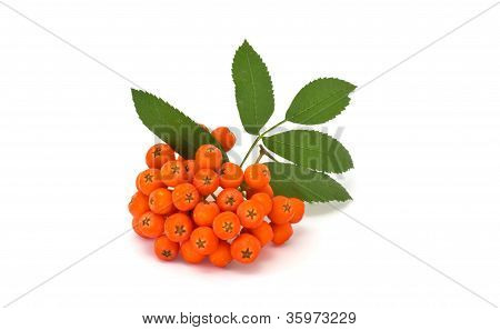 Fresh Bunch Of Ashberry Isolated On White Background
