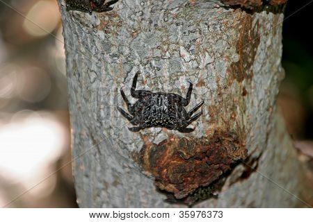 Tree Crab