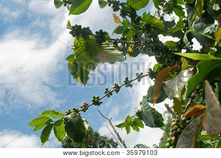 ..green Coffee Beans Growing On The Branch With Clear Sky In Chiang Mai,thailand