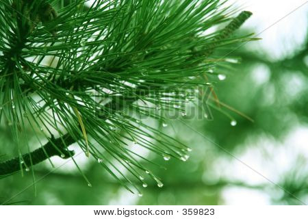 Water Droplets On A Pine Tree.